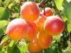 orangered-ama-002